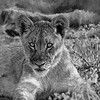 Lion Cub Art in Black and White