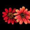 Zinging Zinnia Art