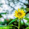 Sunflower with Bokeh