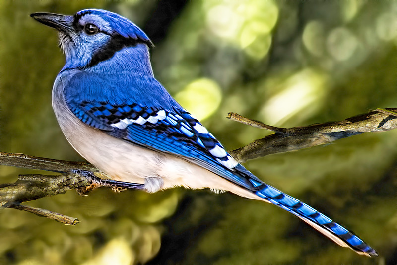 The American Blue Jay