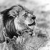 Black-Maned Lion and Cubs of the Kalahari in Black and White