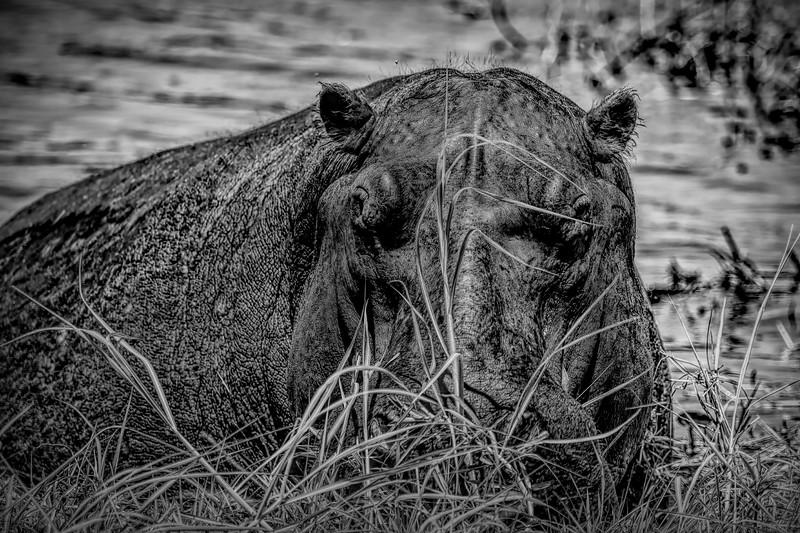 Hippopotamus Black and White