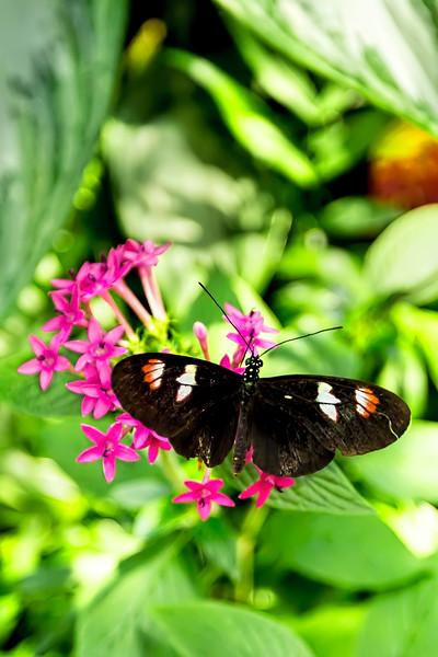 Black Longwing Butterfly