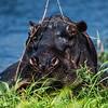 Hippo in the Chobe River