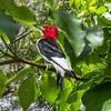 Red-Headed Woodpecker 6