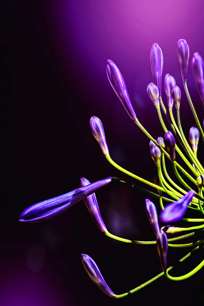 Agapanthus in the Shadows