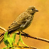 A Female House Finch