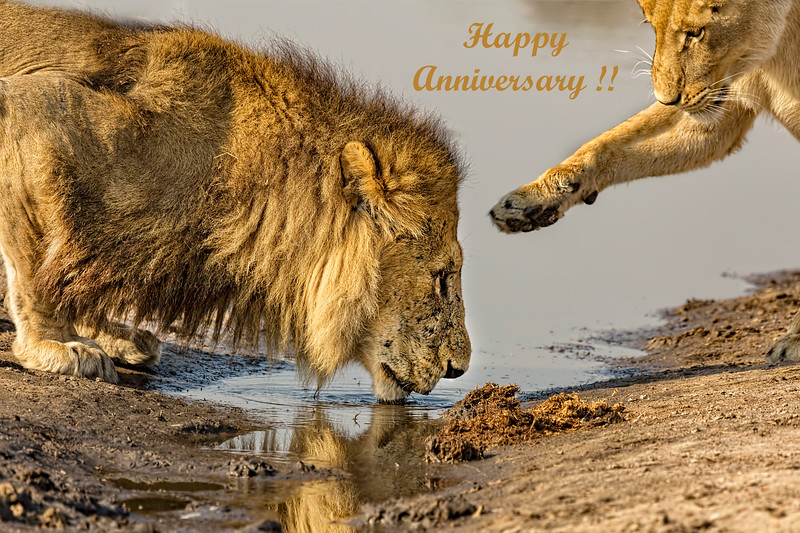 Happy Anniversary Lions Card