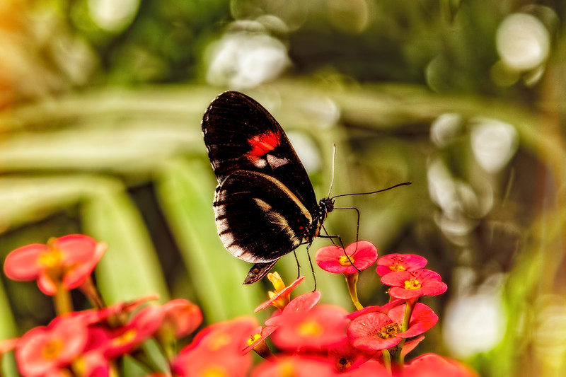 The Fascinating Doris Longwing Butterfly