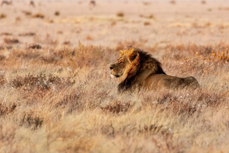 Black-Maned Lion of the Kalahari