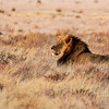 Black-Maned Lion of the Kalahari