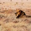 Lekhubu, a Black-Maned Lion of the Kalahari
