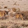 Lion Cubs Approach