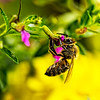 Honey Bee at Dinner