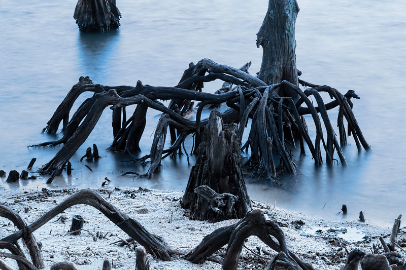 New Orleans's Ghostly Cypress Knees in Lake Ponchartrain