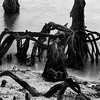 New Orleans's Ghostly Cypress Knees In Lake Ponchartrain In Black And White