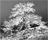 CO 1956 Boulder Old Pinon pine trees Buzzed inverted