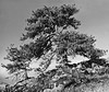 CO 1956 Boulder Old Pinon pine trees Buzzed