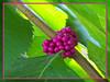 TX 59W side yard American beauty berries