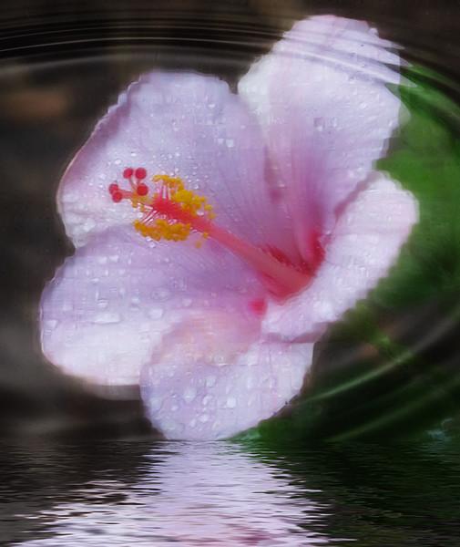 TX 2016/06 59W Rainy day hibiscus
