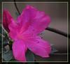 TX 2017/02 Pink beauty