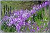 IA Purple wildflowers