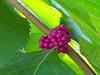59W Side yard American beauty berries