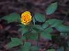 TX 2017/03 59W Jodi's rose