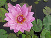 TX 2016/10 Pink water lily drone view