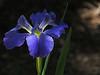 TX 2017/04 59W Southern Iris