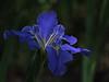 TX 2017/04 Iris blue