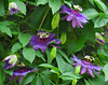 TW 2016/05 TX Passion flowers