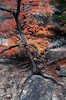 TX 1992 Lost Maples State Park tree on the rocks