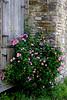 TX 2007 Independence antique roses at Old Baylor Park