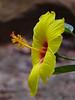 TX 59W 2016/09 Yellow hibiscus