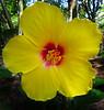TX 2016/06 59W Yellow hibiscus head on