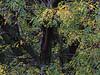 KS 2017/10 Old locust tree ar 13350 S greenwood St.