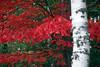 ME 1996 birch bark and crimson leaves