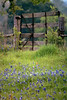 TX 1992 Washington County along FM1155 gate and bluebonnets