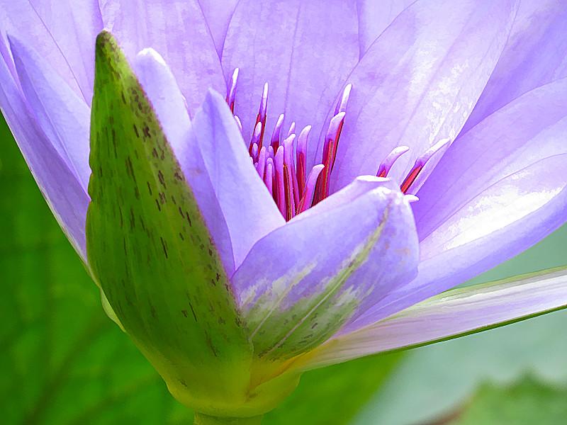 TX 2016/10 Lavender lily