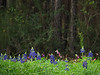 TX 2017/02 Can't see the trees for the bluebonnets