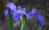 TX 2017/04 Spreading iris bloom