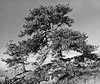 1956 CO Boulder Old Pinon pine trees on a rocky ledge
