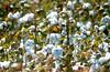 1987 LA Cotton field