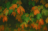 1987 MA Sandwich Autumn leaves