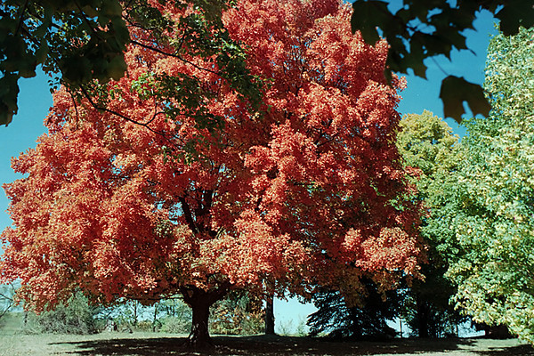 1980 MO Big red tree