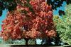 1980 MO Big red tree