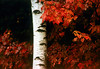 1987 NH Birch and autumn leaves