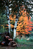 1987 NH Birch and autumn colors