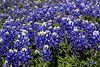 2004 TX Brenham Bluebonnet patch